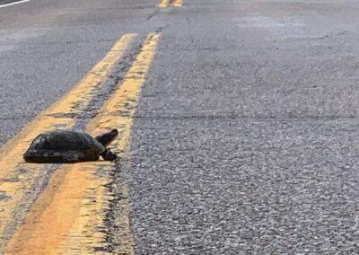 Turtle crossing an empty road