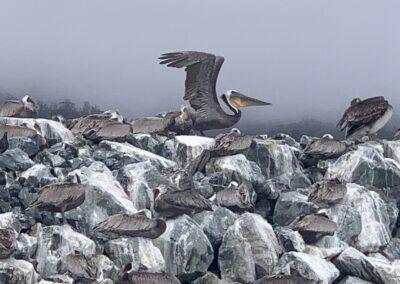 Pelican on Stony rocks