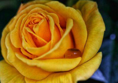 Closeup of yellow rose with raindrop