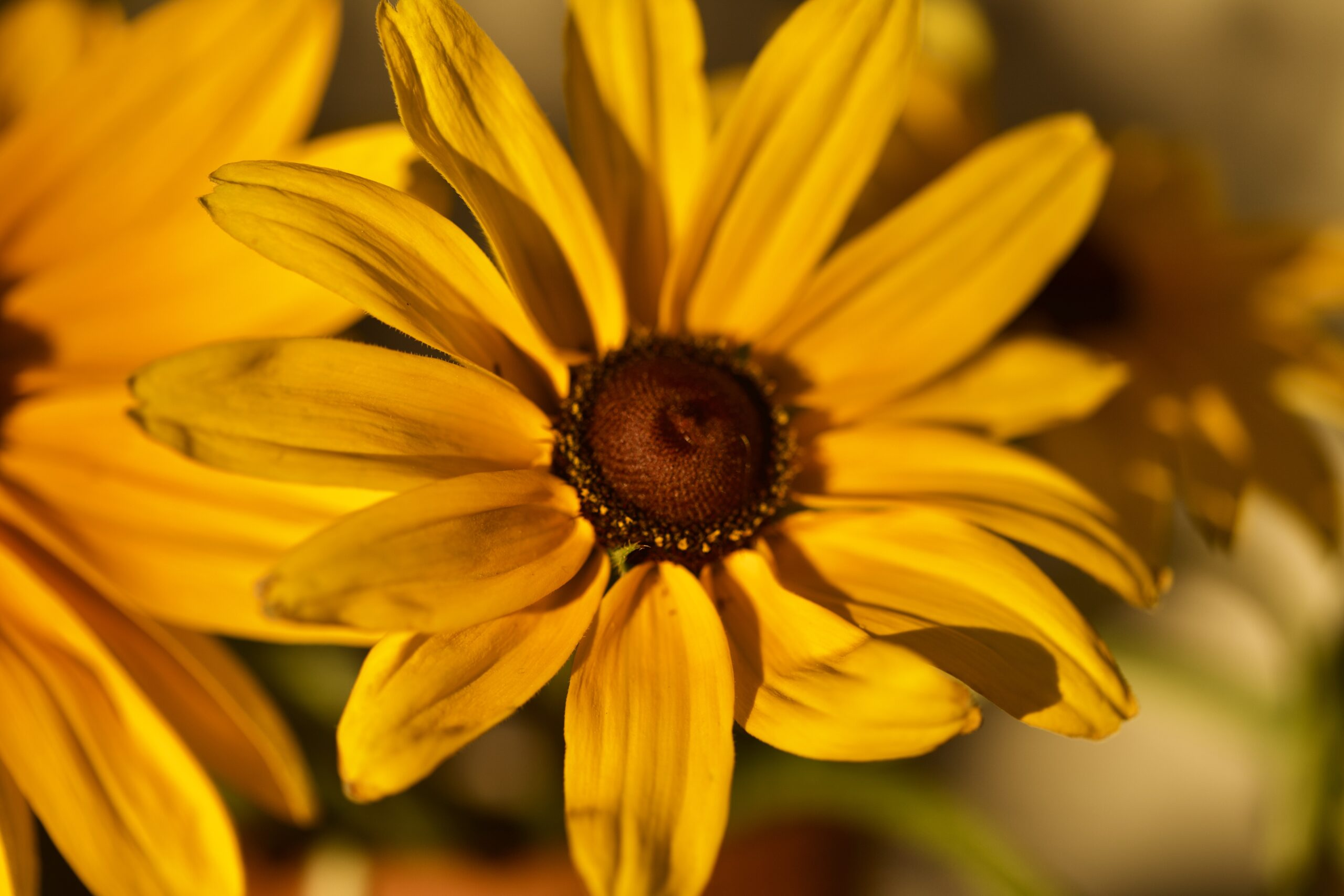 Sunflower in golden sunlight