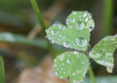 Three-leaf clover covered in raindrops