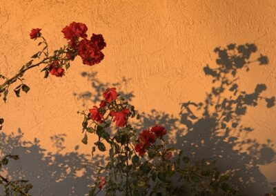 Carnation plant in front of stucco building in orange sunlight