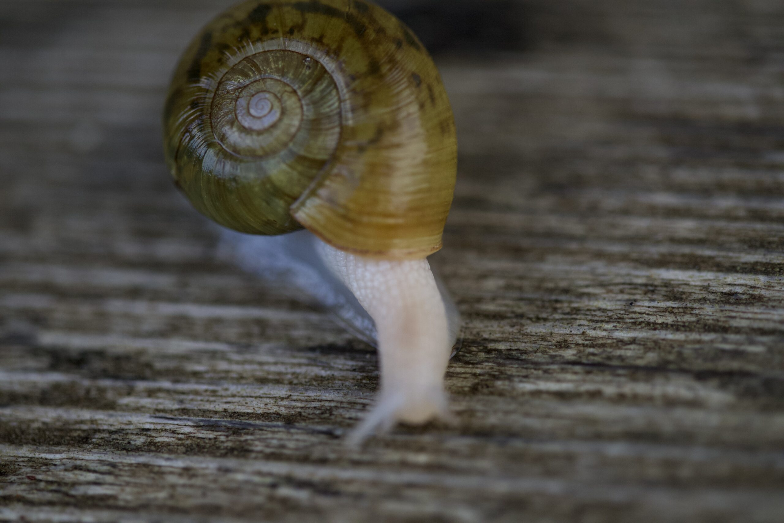Snail moving over wood