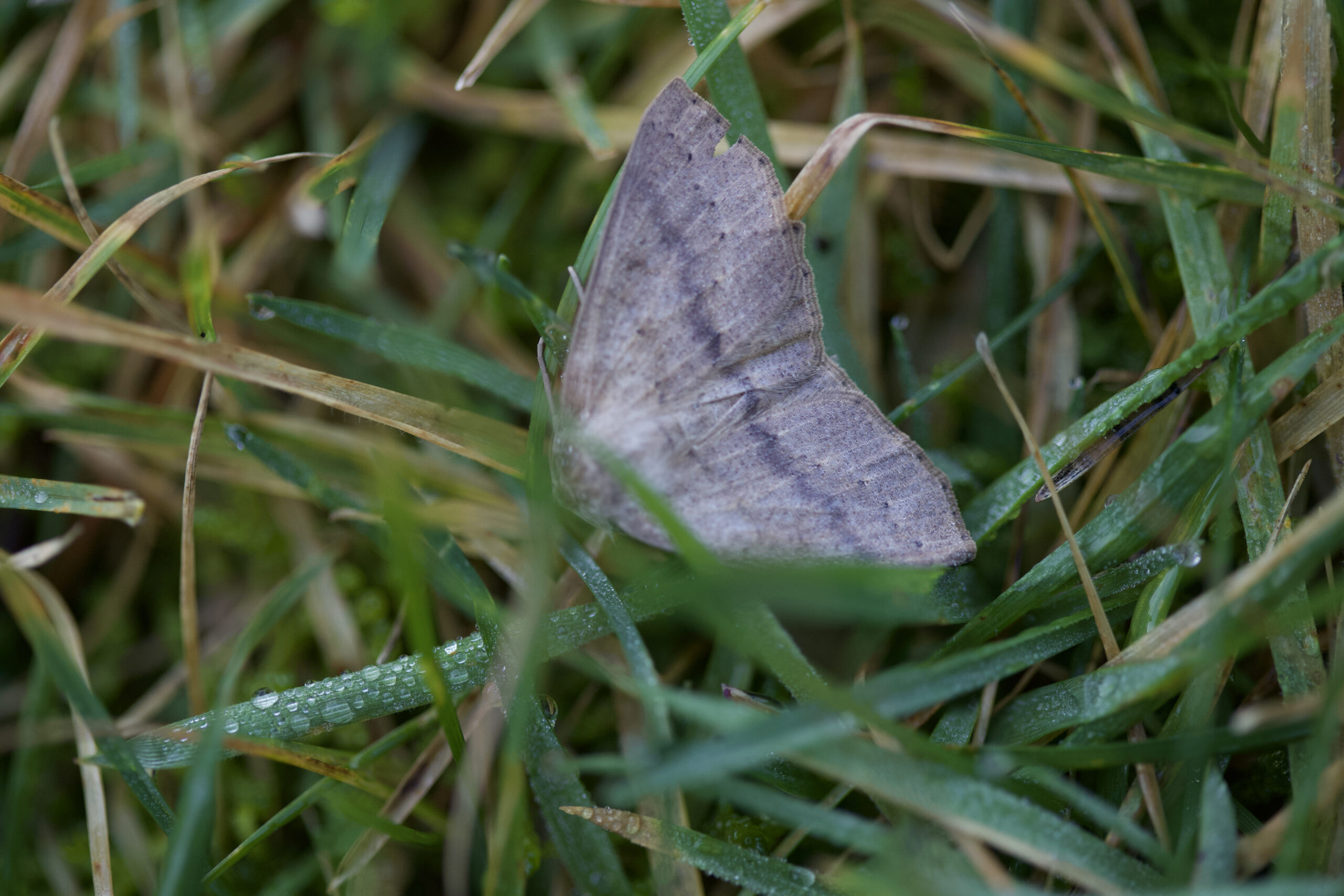 Moth perched on a blade of grass