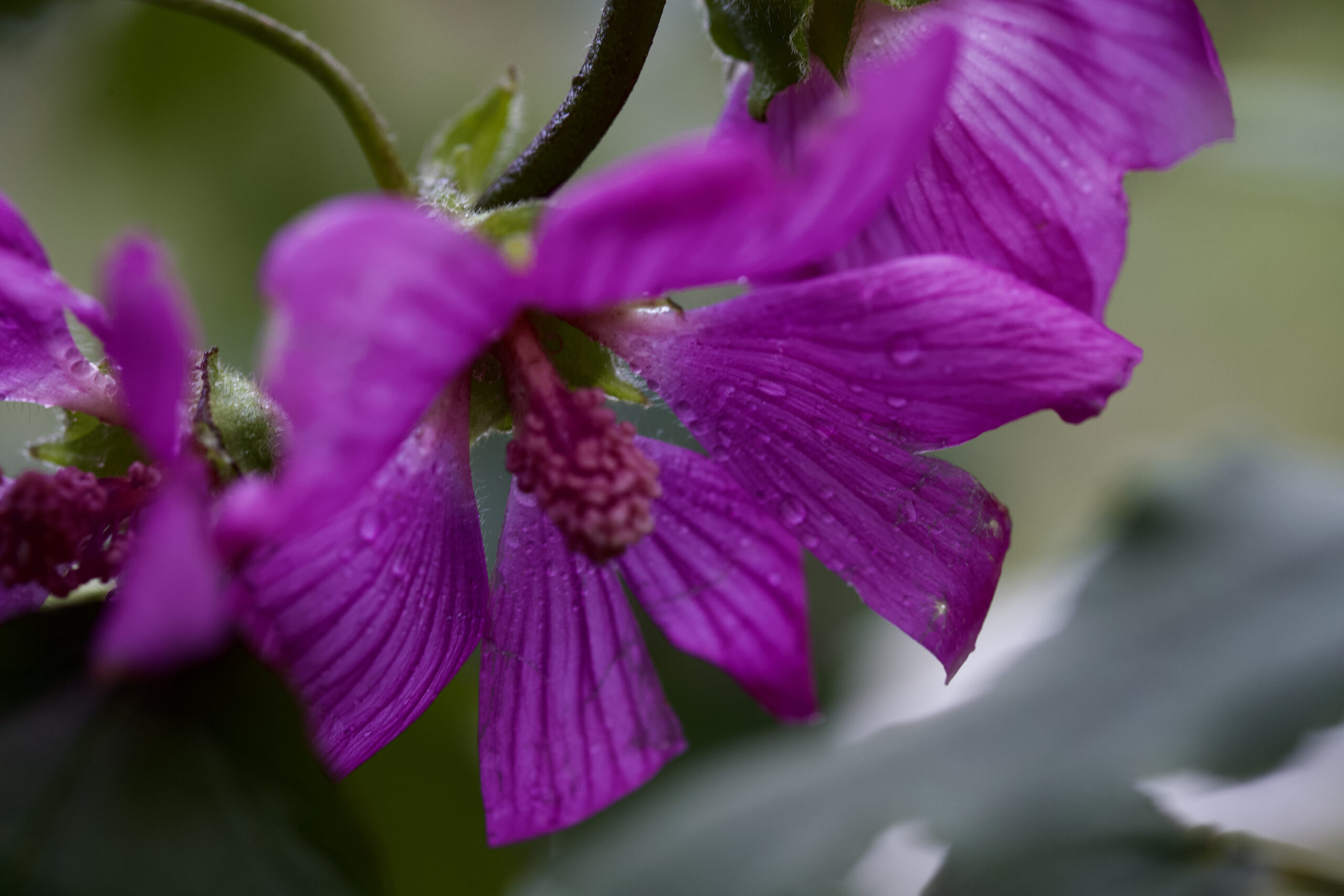 Three purple flowers covered in dew