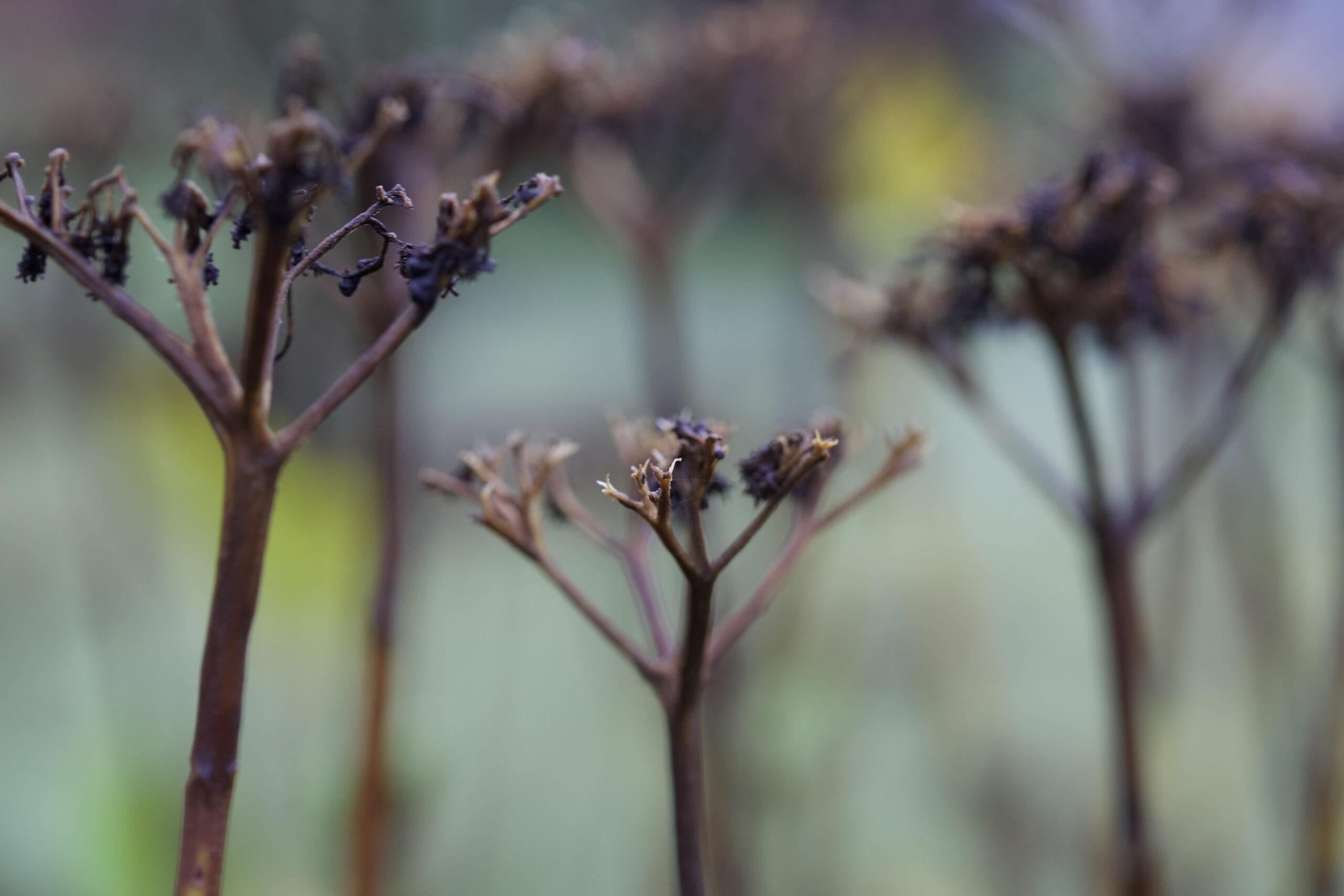 Closeup of dark-colored delicate flowers